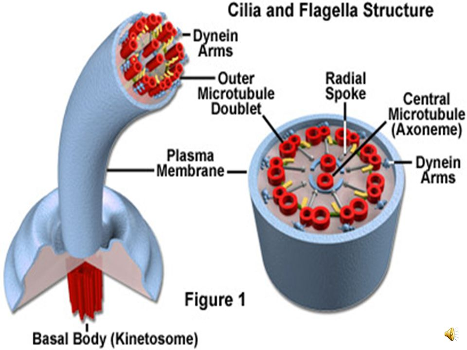 Motor molecules attached to one microtubule slide it past another.  Sliding of neighboring microtubules moves cilia and flagella.  Motor molecules