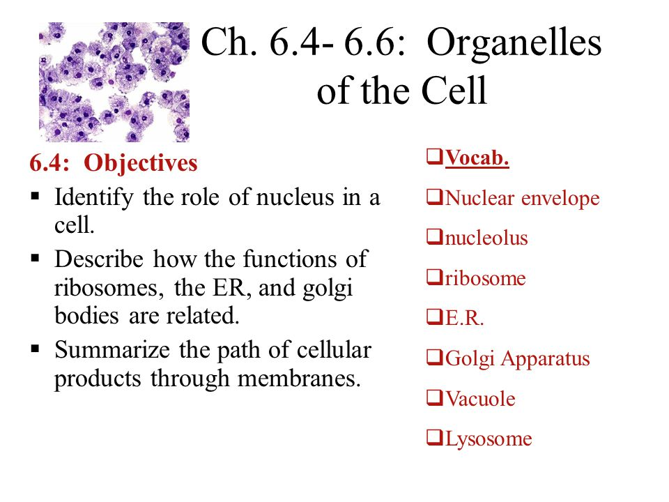Ch. 6.4- 6.6: Organelles of the Cell 6.4: Objectives  Identify the role of nucleus in a cell.