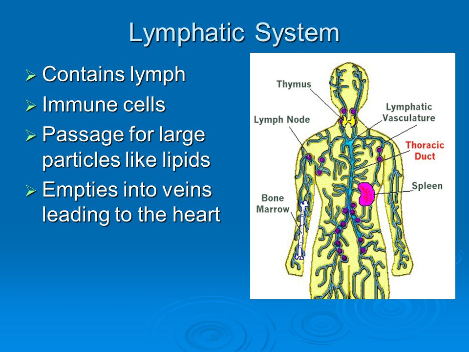 Lymphatic System  Contains lymph  Immune cells  Passage for large particles like lipids  Empties into veins leading to the heart