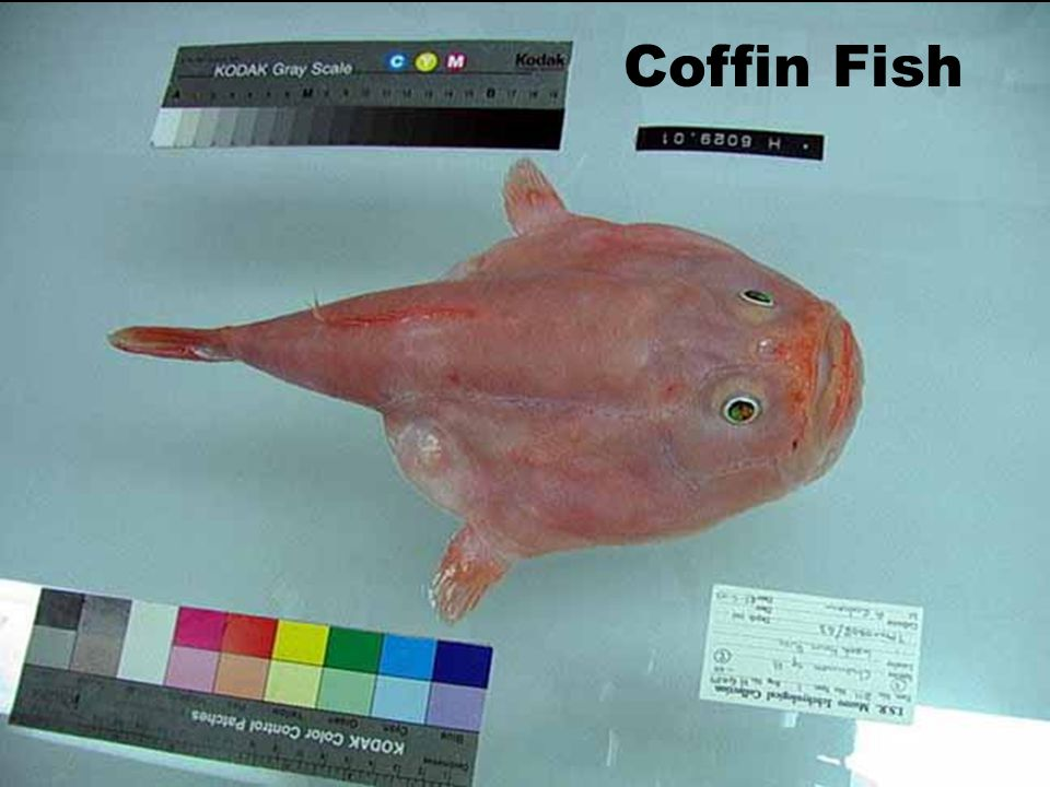 Coffin Fish