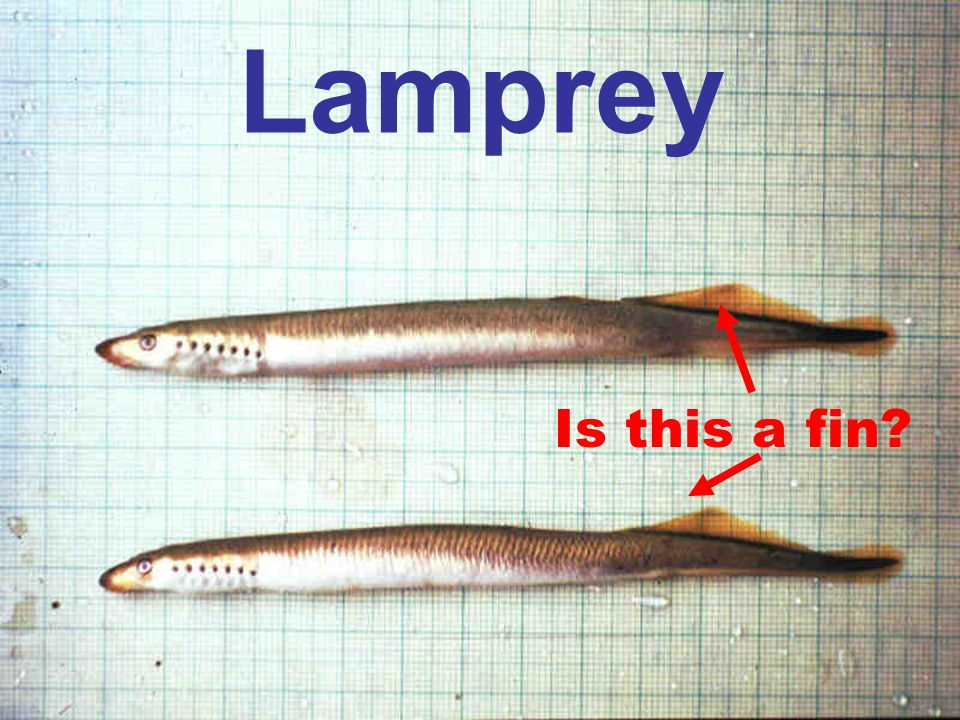 Lamprey Is this a fin?