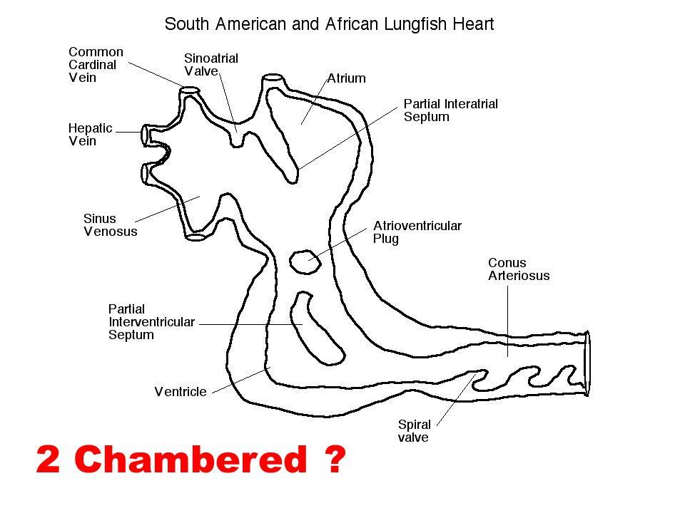 2 Chambered