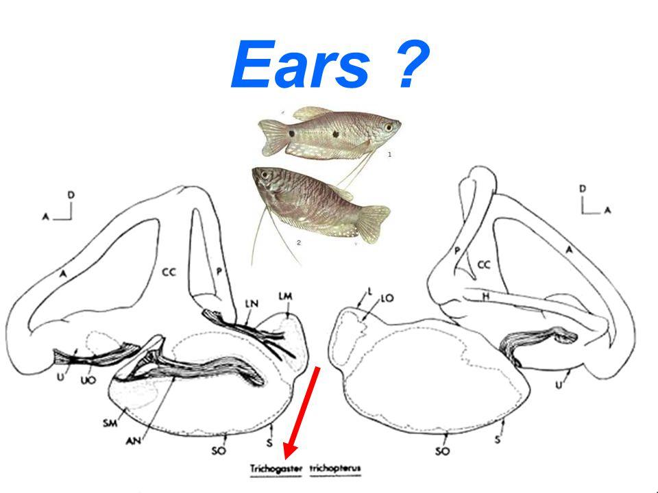 Ears ?