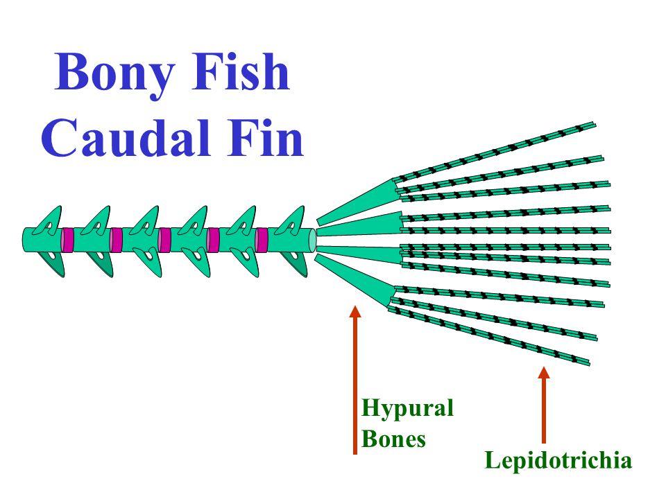 Bony Fish Caudal Fin Hypural Bones Lepidotrichia