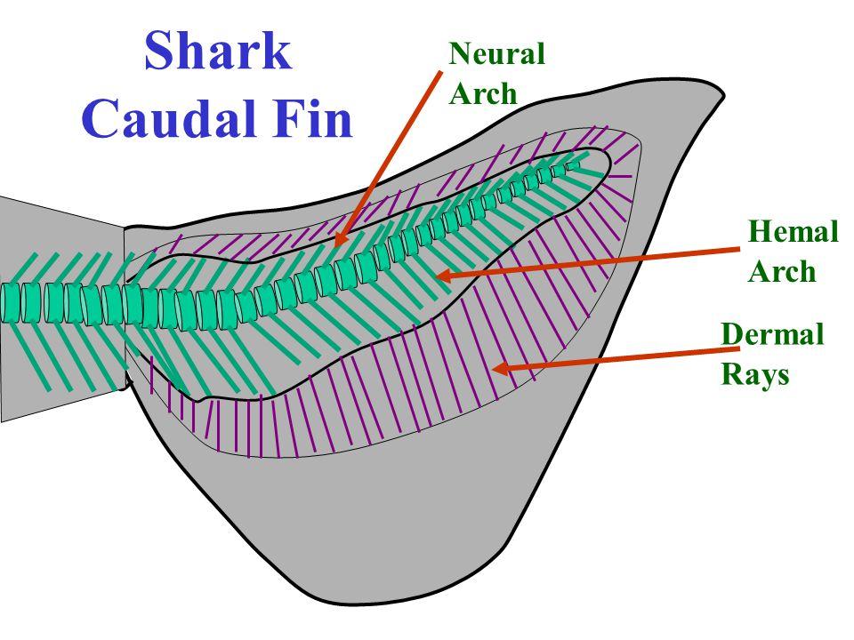 Shark Caudal Fin Neural Arch Hemal Arch Dermal Rays