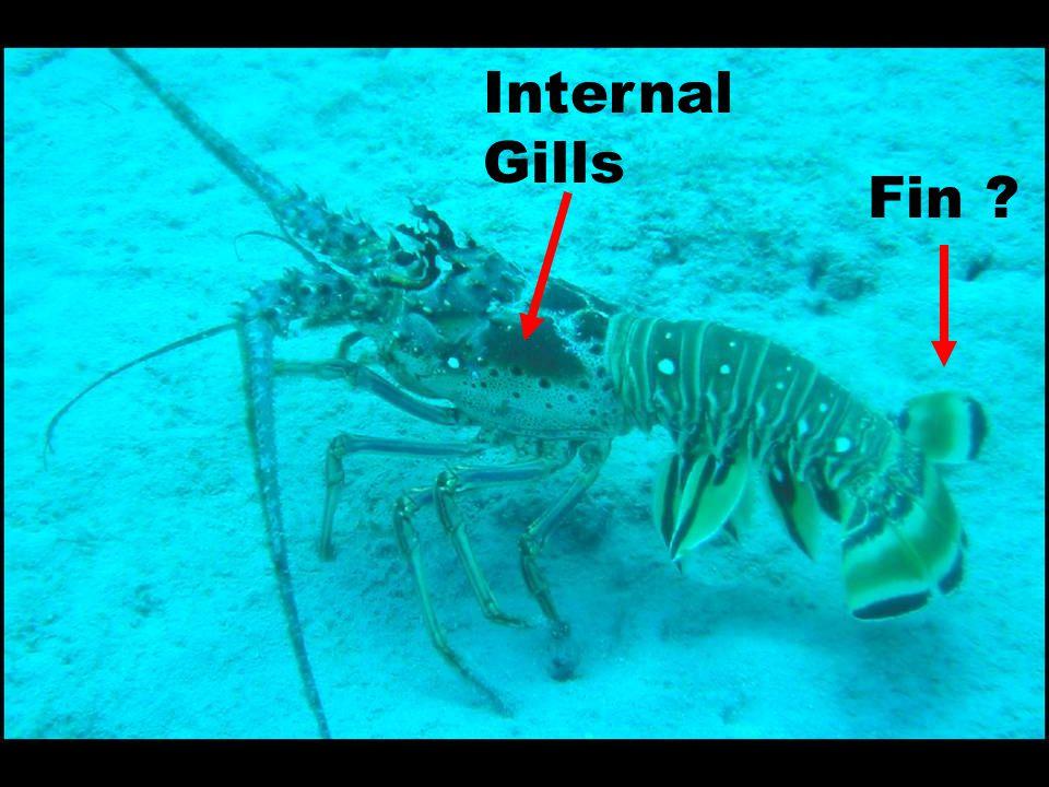 Internal Gills Fin