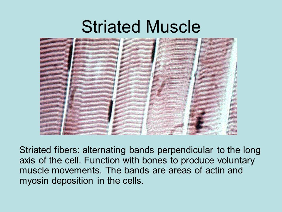 Muscle Tissue facilitates movement of the animal by contraction of individual muscle cells (referred to as muscle fibers).
