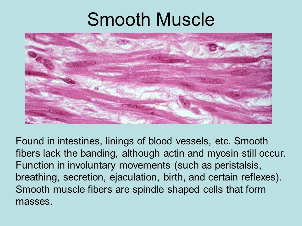 Striated Muscle Striated fibers: alternating bands perpendicular to the long axis of the cell.
