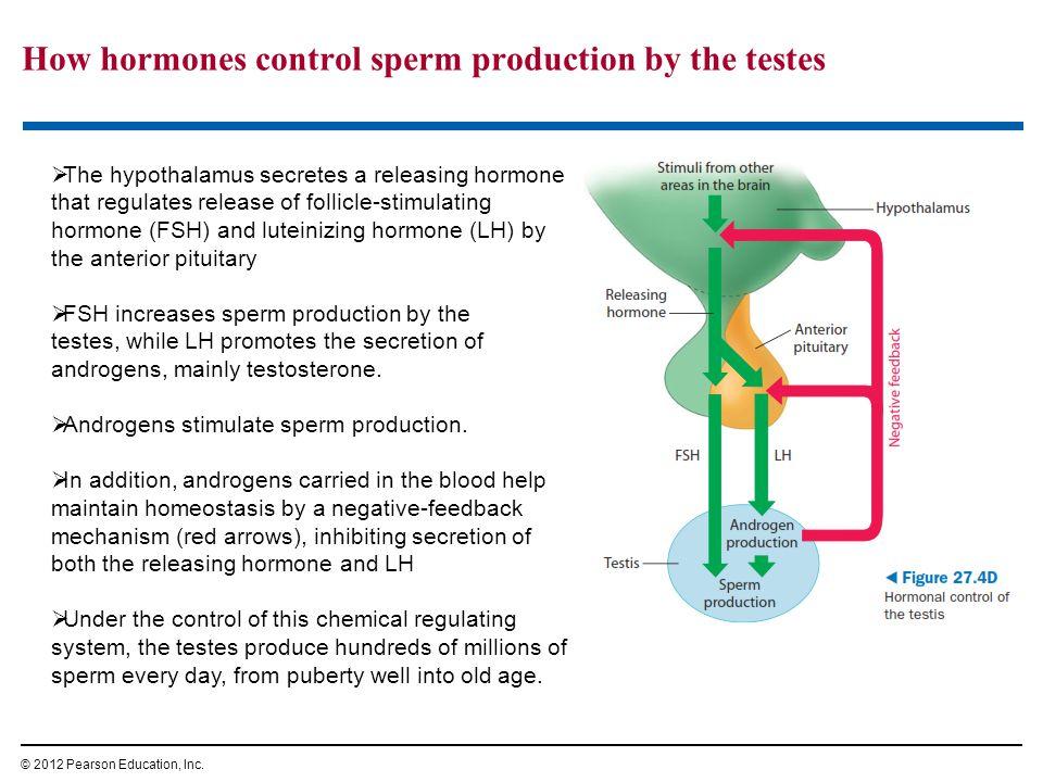 How hormones control sperm production by the testes © 2012 Pearson Education, Inc.  The hypothalamus secretes a releasing hormone that regulates rele