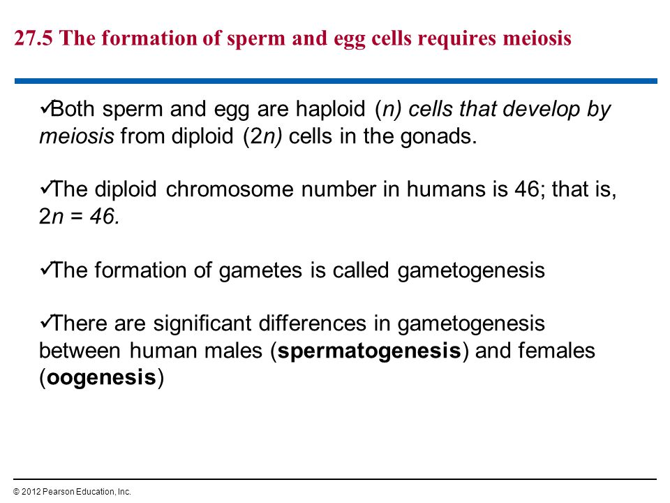 27.5 The formation of sperm and egg cells requires meiosis © 2012 Pearson Education, Inc. Both sperm and egg are haploid (n) cells that develop by mei