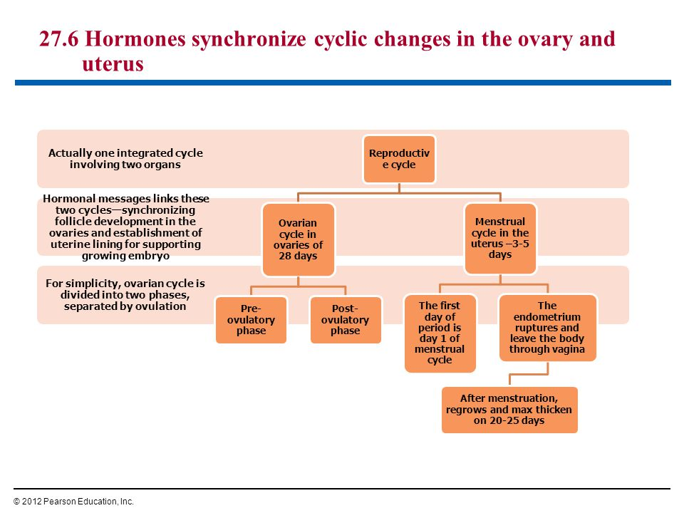 27.6 Hormones synchronize cyclic changes in the ovary and uterus © 2012 Pearson Education, Inc. For simplicity, ovarian cycle is divided into two phas
