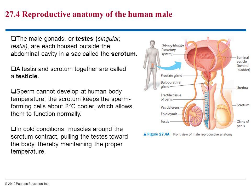 27.4 Reproductive anatomy of the human male © 2012 Pearson Education, Inc.  The male gonads, or testes (singular, testis), are each housed outside th