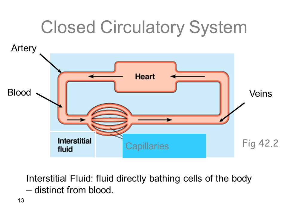 13 Closed Circulatory System Interstitial Fluid: fluid directly bathing cells of the body – distinct from blood.