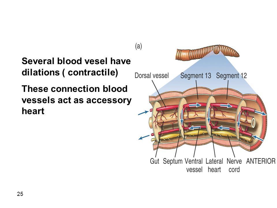 25 Several blood vesel have dilations ( contractile) These connection blood vessels act as accessory heart