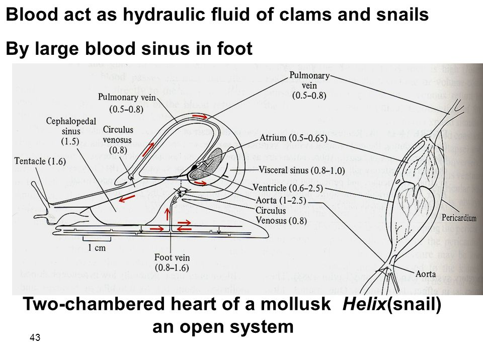 43 Blood act as hydraulic fluid of clams and snails By large blood sinus in foot Two-chambered heart of a mollusk Helix(snail) an open system