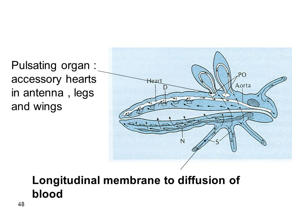 48 Pulsating organ : accessory hearts in antenna, legs and wings Longitudinal membrane to diffusion of blood