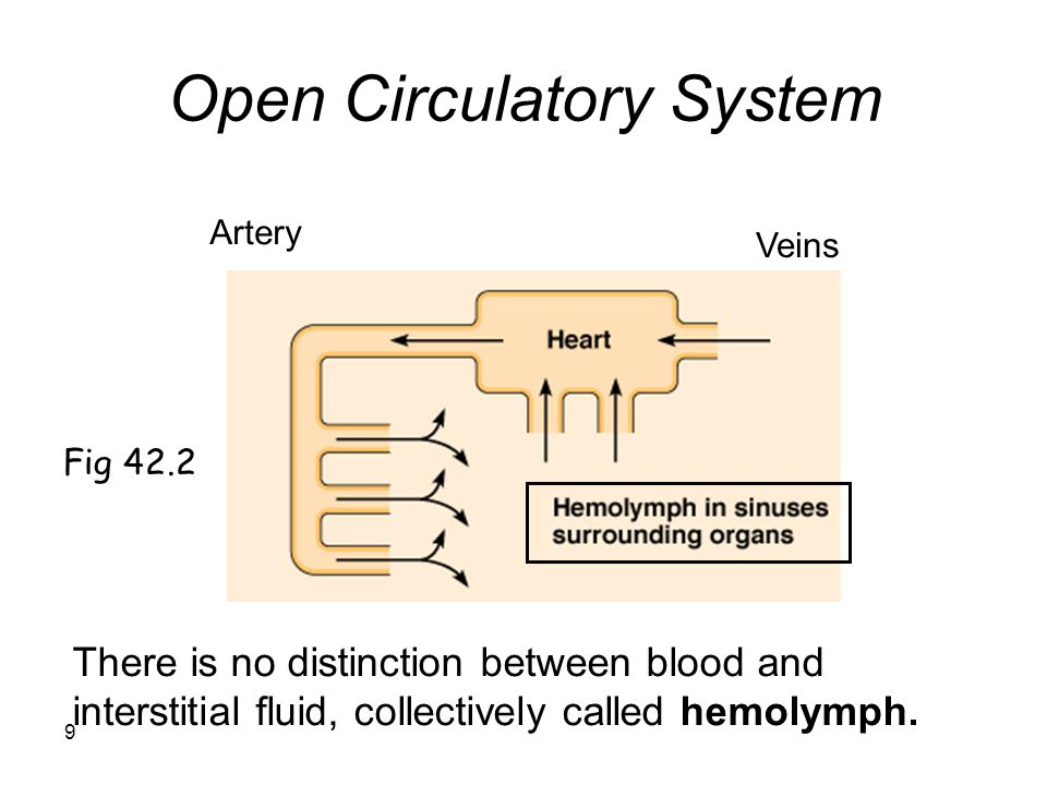 9 Open Circulatory System Artery Veins There is no distinction between blood and interstitial fluid, collectively called hemolymph.