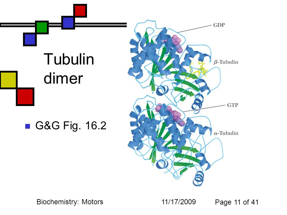 11/17/2009Biochemistry: Motors Page 11 of 41 Tubulin dimer G&G Fig. 16.2