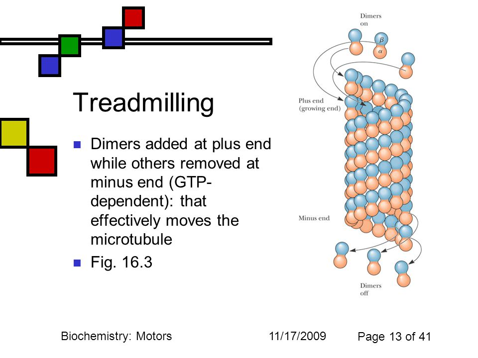 11/17/2009Biochemistry: Motors Page 13 of 41 Treadmilling Dimers added at plus end while others removed at minus end (GTP- dependent): that effectively moves the microtubule Fig.
