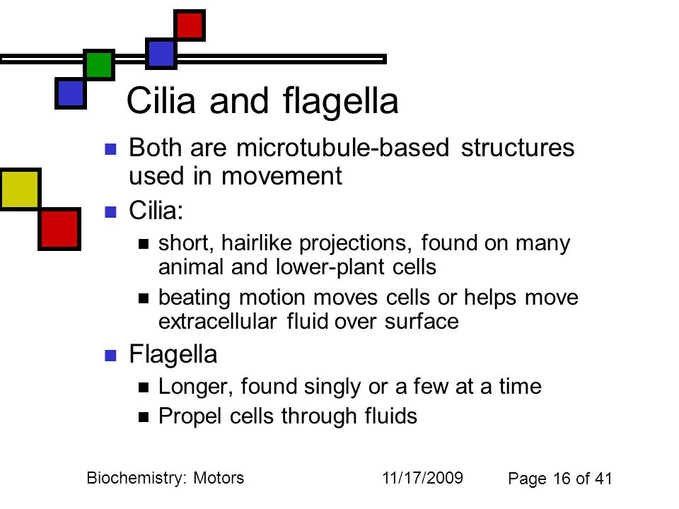 11/17/2009Biochemistry: Motors Page 16 of 41 Cilia and flagella Both are microtubule-based structures used in movement Cilia: short, hairlike projections, found on many animal and lower-plant cells beating motion moves cells or helps move extracellular fluid over surface Flagella Longer, found singly or a few at a time Propel cells through fluids