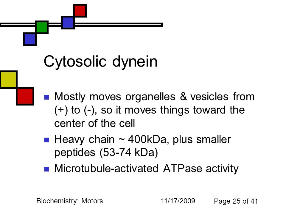 11/17/2009Biochemistry: Motors Page 25 of 41 Cytosolic dynein Mostly moves organelles & vesicles from (+) to (-), so it moves things toward the center of the cell Heavy chain ~ 400kDa, plus smaller peptides (53-74 kDa) Microtubule-activated ATPase activity