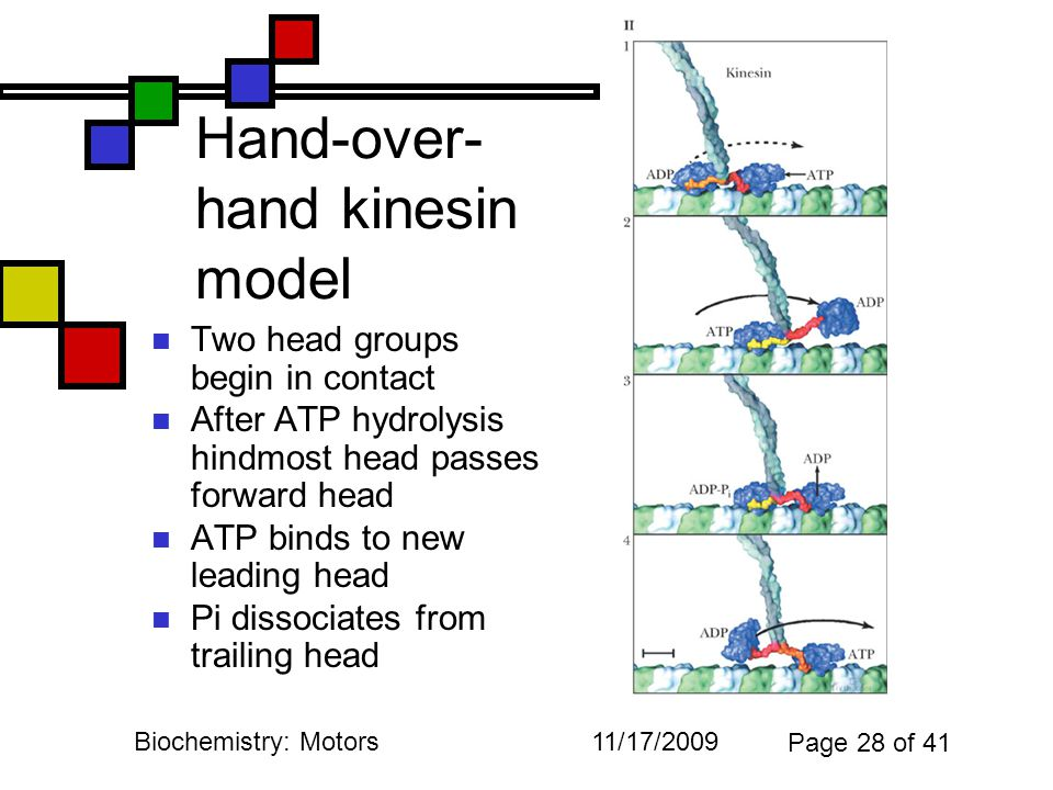 11/17/2009Biochemistry: Motors Page 28 of 41 Hand-over- hand kinesin model Two head groups begin in contact After ATP hydrolysis hindmost head passes forward head ATP binds to new leading head Pi dissociates from trailing head