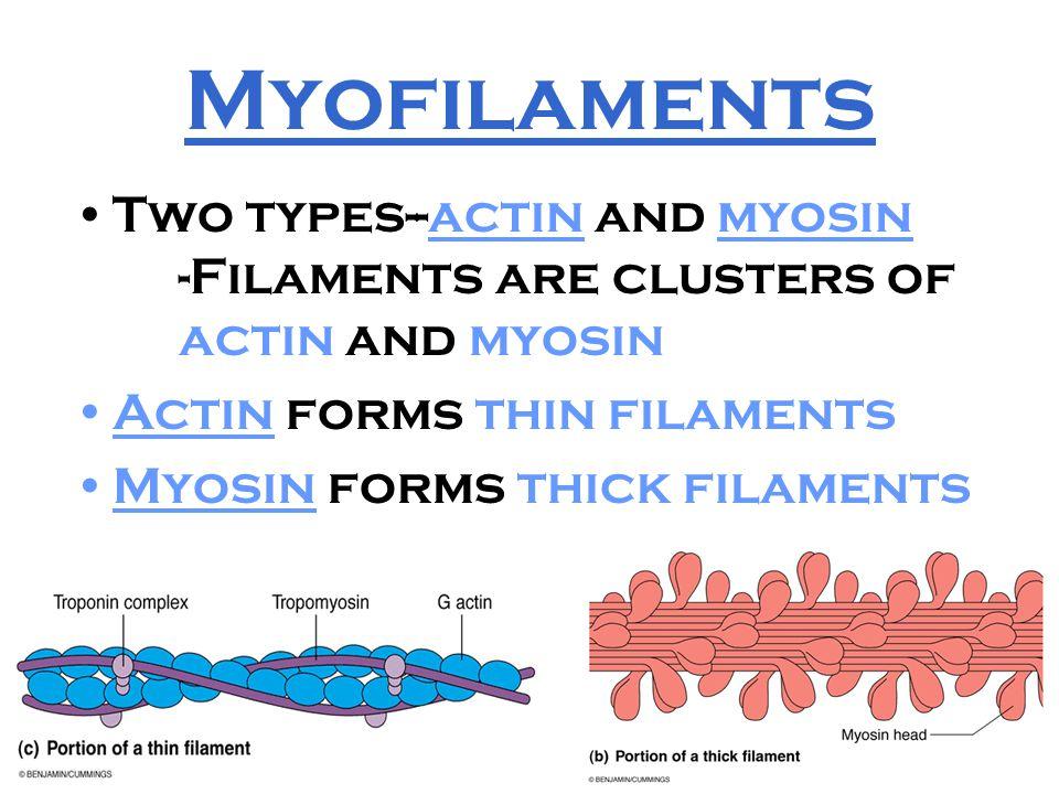 17 Myofilaments Two types--actin and myosin -Filaments are clusters of actin and myosin Actin forms thin filaments Myosin forms thick filaments