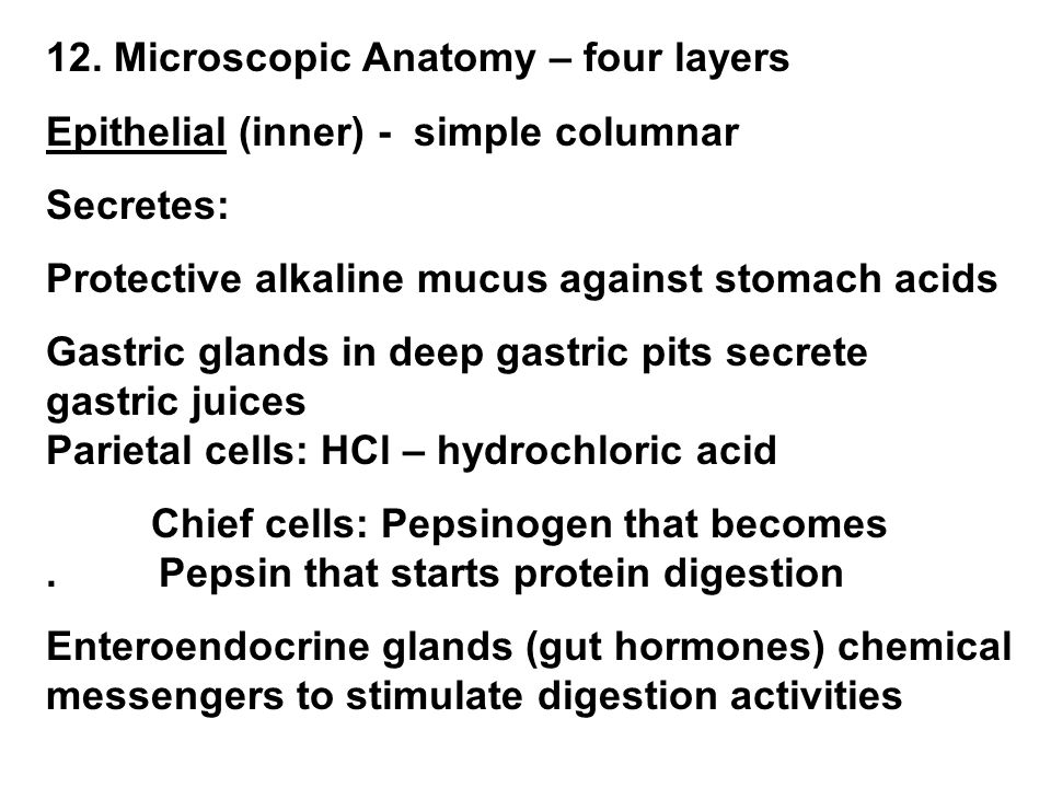 12. Microscopic Anatomy – four layers Epithelial (inner) - simple columnar Secretes: Protective alkaline mucus against stomach acids Gastric glands in