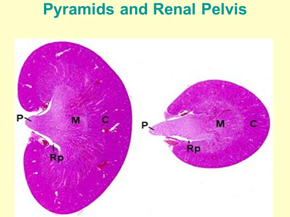 Cortex of Kidney