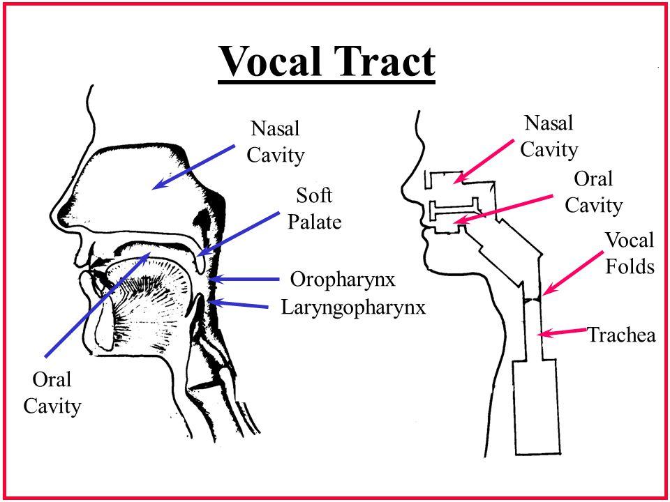 Vocal Tract Nasal Cavity Soft Palate Oropharynx Laryngopharynx Oral Cavity Vocal Folds Trachea Oral Cavity Nasal Cavity