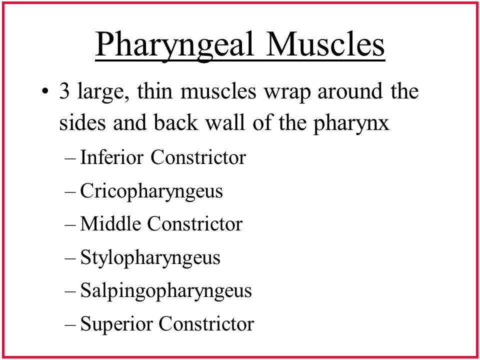 Pharyngeal Muscles 3 large, thin muscles wrap around the sides and back wall of the pharynx –Inferior Constrictor –Cricopharyngeus –Middle Constrictor –Stylopharyngeus –Salpingopharyngeus –Superior Constrictor