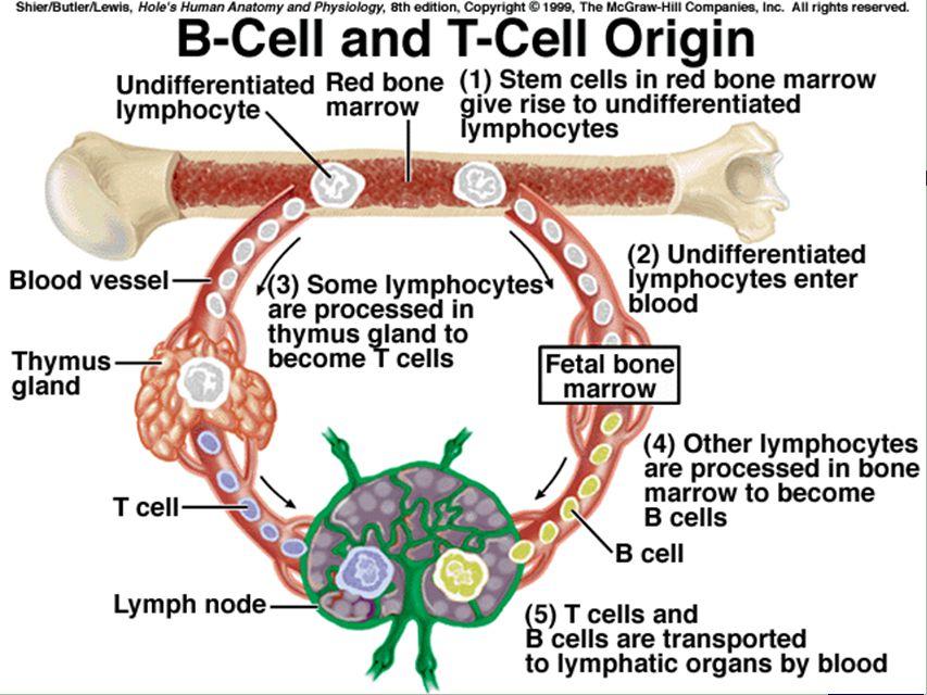 Erfreut Thymus Anatomy And Physiology Fotos - Menschliche Anatomie ...