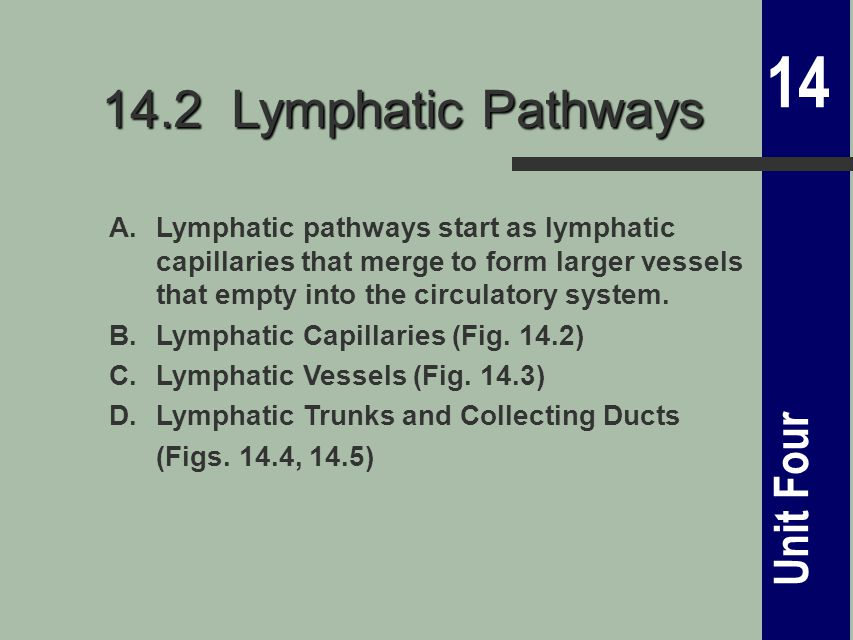 14 Unit Four 14.2 Lymphatic Pathways A.Lymphatic pathways start as lymphatic capillaries that merge to form larger vessels that empty into the circulatory system.