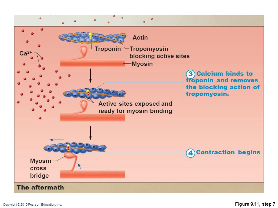 Copyright © 2010 Pearson Education, Inc. Figure 9.11, step 6 TroponinTropomyosin blocking active sites Myosin Actin Active sites exposed and ready for