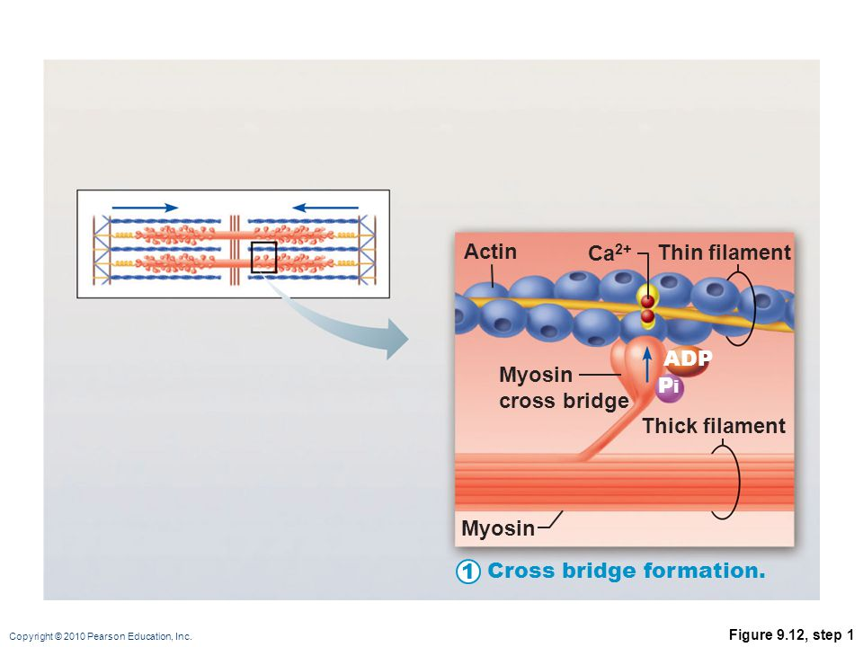 Copyright © 2010 Pearson Education, Inc. Figure 9.12 1 Actin Cross bridge formation. Cocking of myosin head. The power (working) stroke. Cross bridge