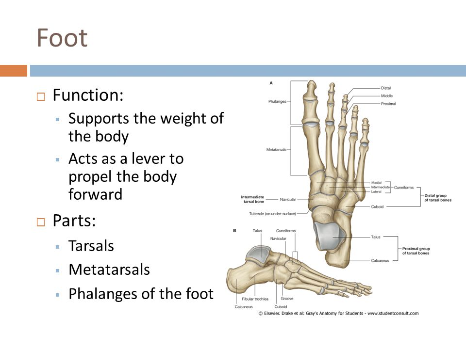 Foot  Function:  Supports the weight of the body  Acts as a lever to propel the body forward  Parts:  Tarsals  Metatarsals  Phalanges of the fo