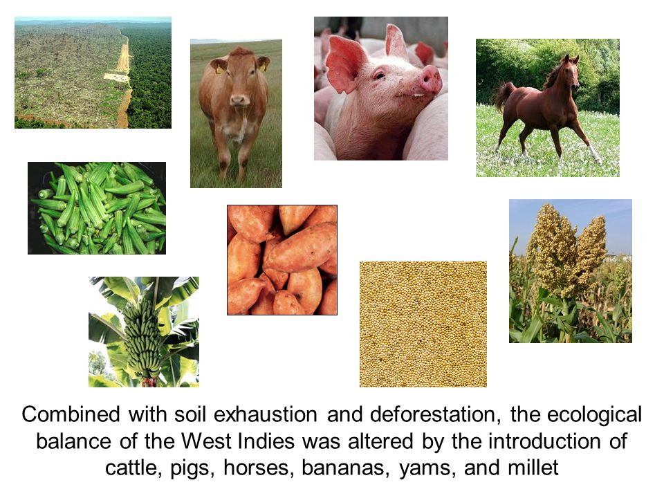 Combined with soil exhaustion and deforestation, the ecological balance of the West Indies was altered by the introduction of cattle, pigs, horses, ba