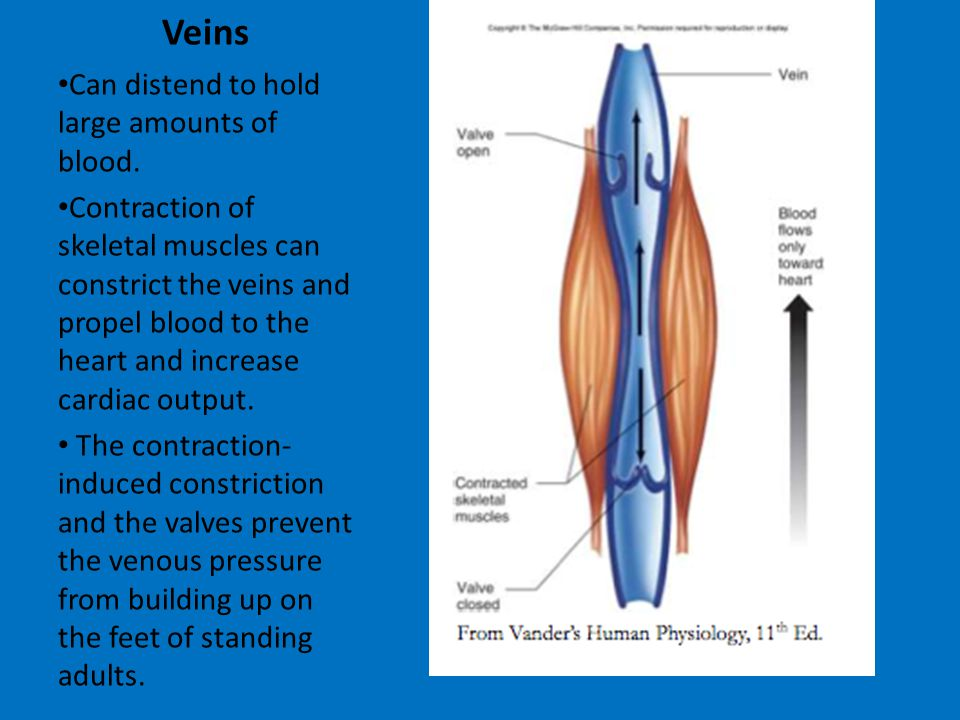 Veins Can distend to hold large amounts of blood.
