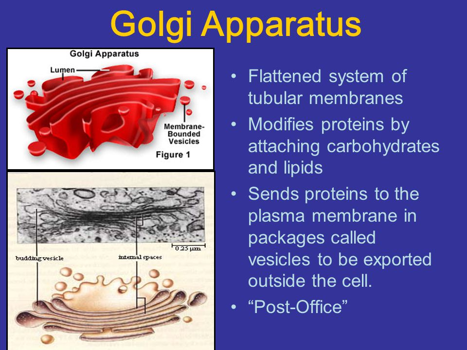 Golgi Apparatus Flattened system of tubular membranes Modifies proteins by attaching carbohydrates and lipids Sends proteins to the plasma membrane in