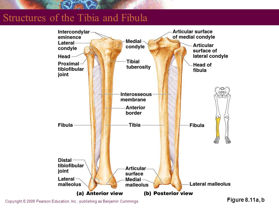 Copyright © 2008 Pearson Education, Inc., publishing as Benjamin Cummings Structures of the Tibia and Fibula Figure 8.11a, b
