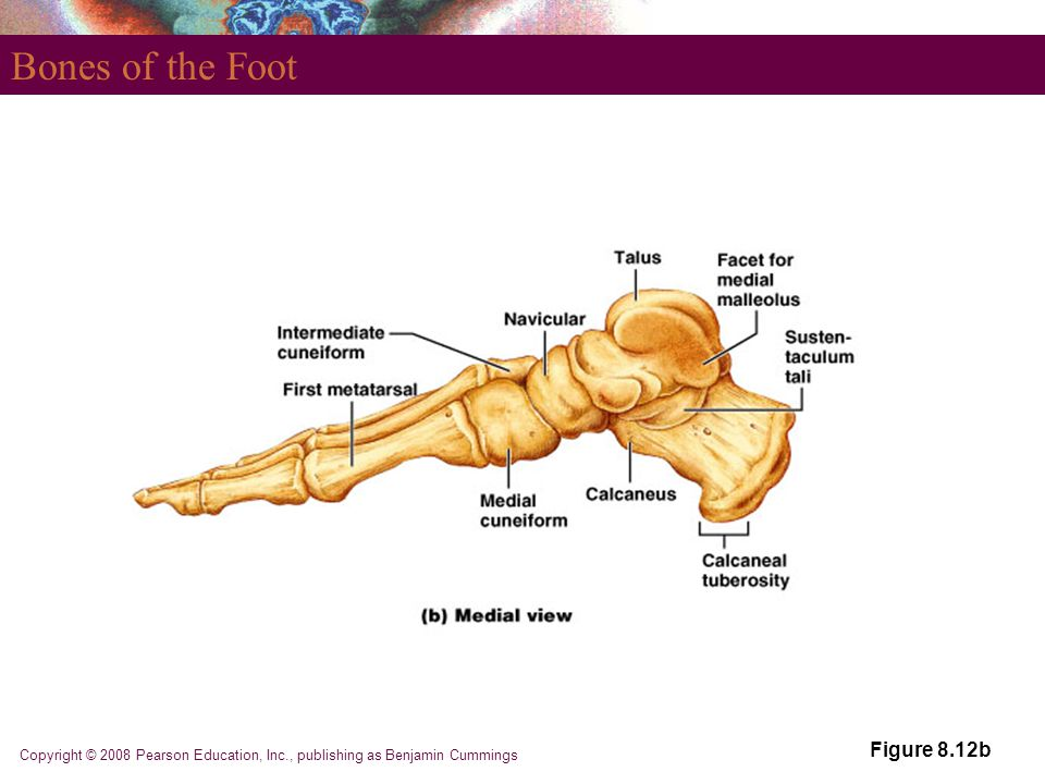 Copyright © 2008 Pearson Education, Inc., publishing as Benjamin Cummings Bones of the Foot Figure 8.12b