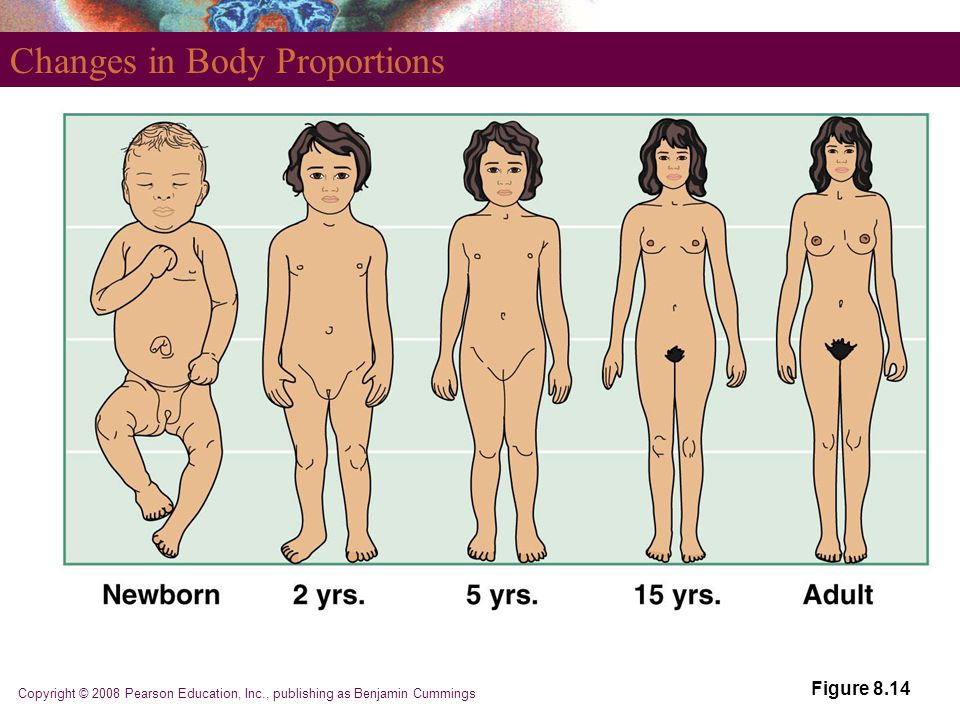 Copyright © 2008 Pearson Education, Inc., publishing as Benjamin Cummings Changes in Body Proportions Figure 8.14