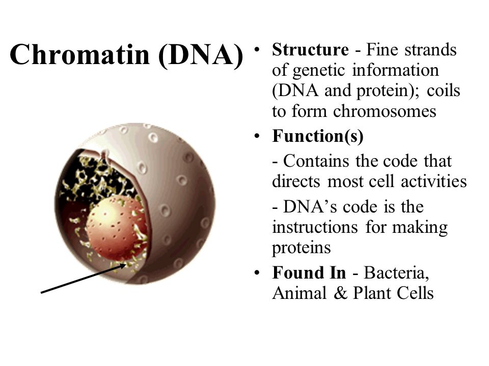 Chromatin (DNA) Structure - Fine strands of genetic information (DNA and protein); coils to form chromosomes Function(s) - Contains the code that dire