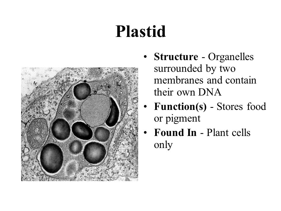 Plastid Structure - Organelles surrounded by two membranes and contain their own DNA Function(s) - Stores food or pigment Found In - Plant cells only