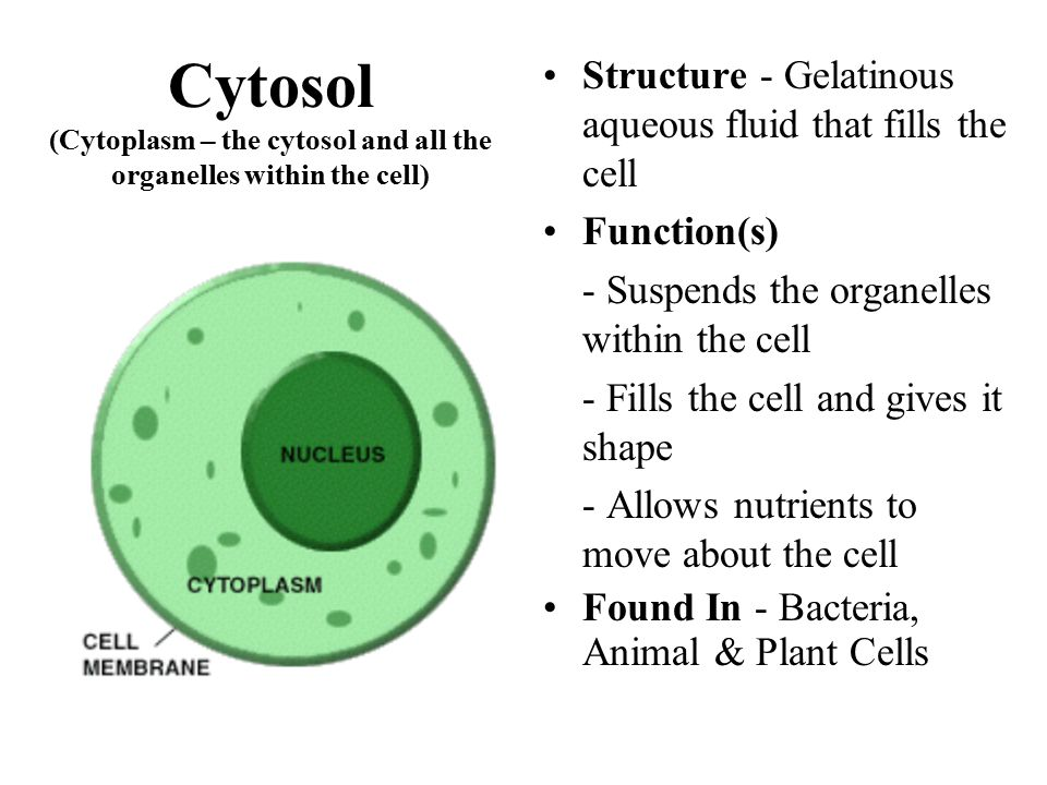 Cytosol (Cytoplasm – the cytosol and all the organelles within the cell) Structure - Gelatinous aqueous fluid that fills the cell Function(s) - Suspen