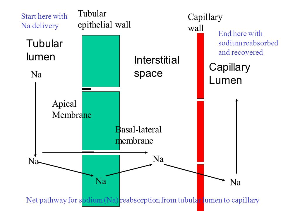 Na Tubular lumen Apical Membrane Basal-lateral membrane Interstitial space Capillary Lumen Na Tubular epithelial wall Capillary wall Net pathway for s