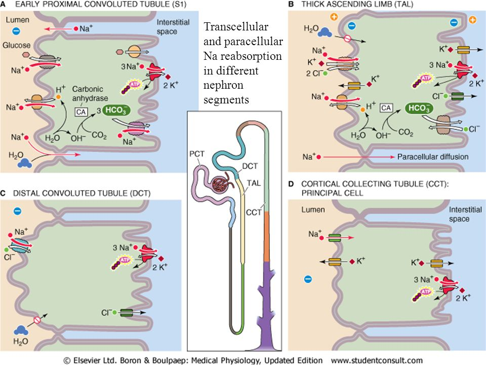 Transcellular and paracellular Na reabsorption in different nephron segments