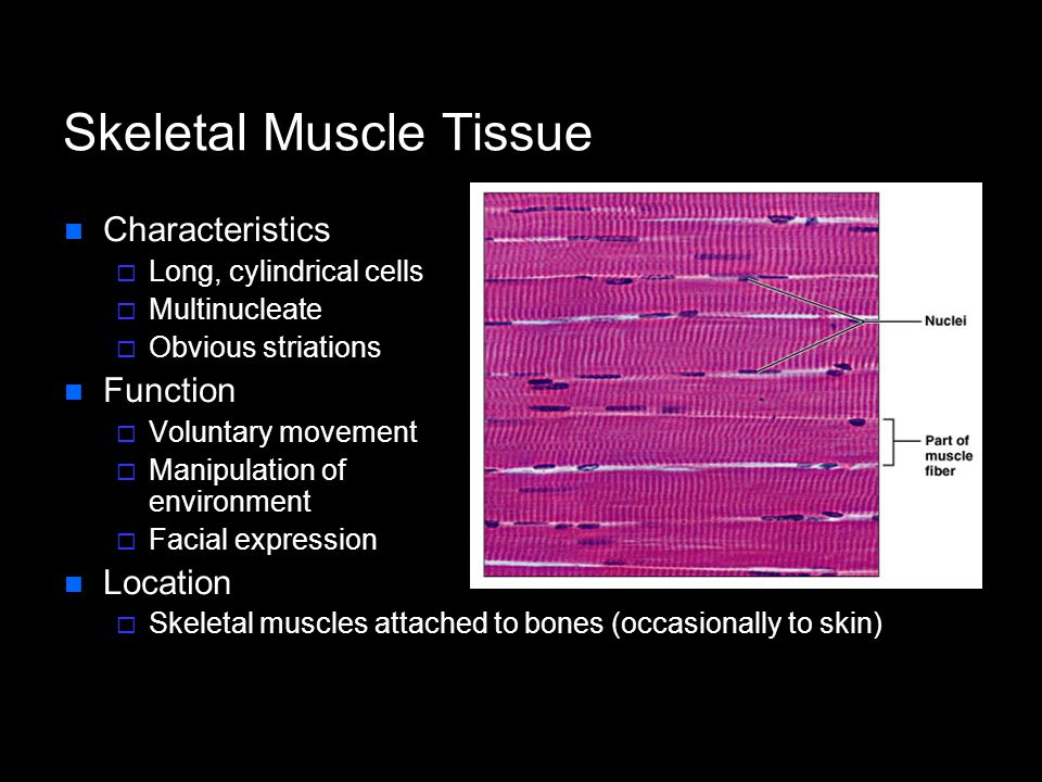 Skeletal Muscle Tissue Characteristics  Long, cylindrical cells  Multinucleate  Obvious striations Function  Voluntary movement  Manipulation of environment  Facial expression Location  Skeletal muscles attached to bones (occasionally to skin)