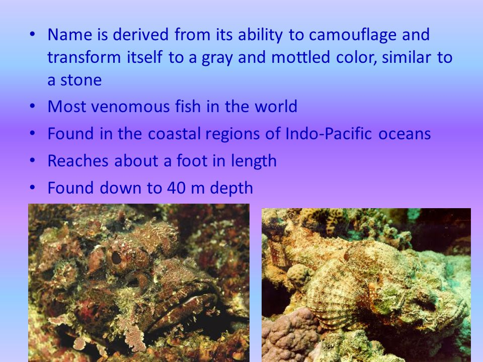 Name is derived from its ability to camouflage and transform itself to a gray and mottled color, similar to a stone Most venomous fish in the world Found in the coastal regions of Indo-Pacific oceans Reaches about a foot in length Found down to 40 m depth
