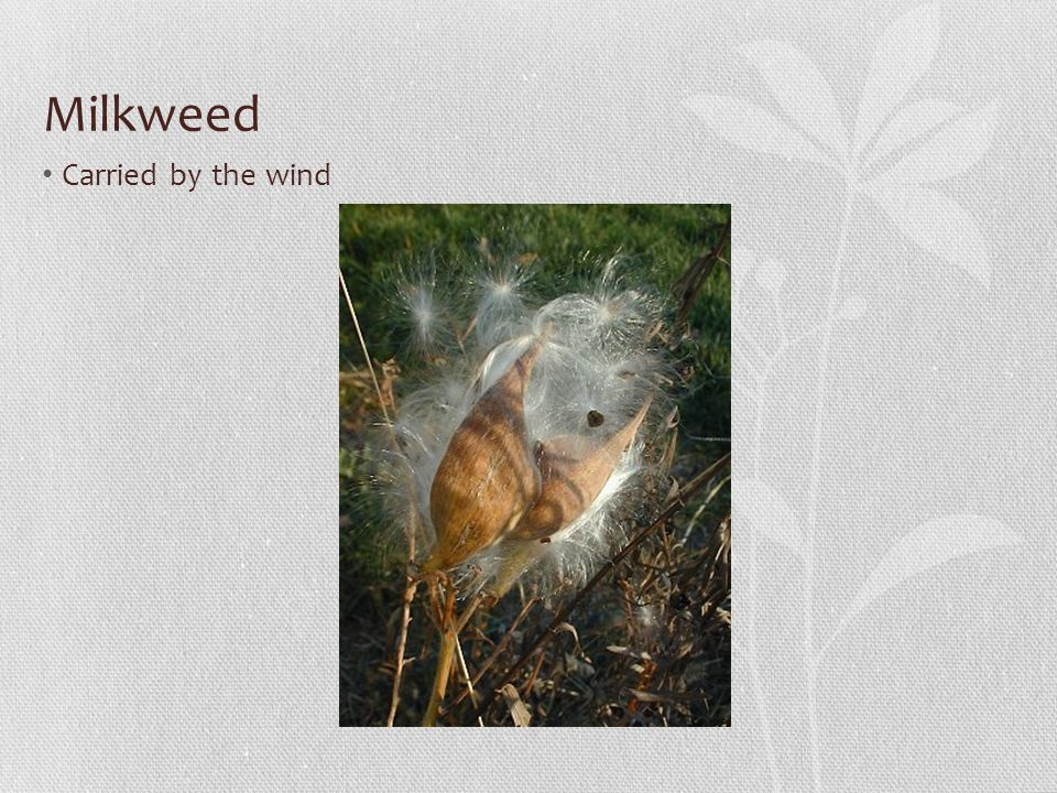 Milkweed Carried by the wind